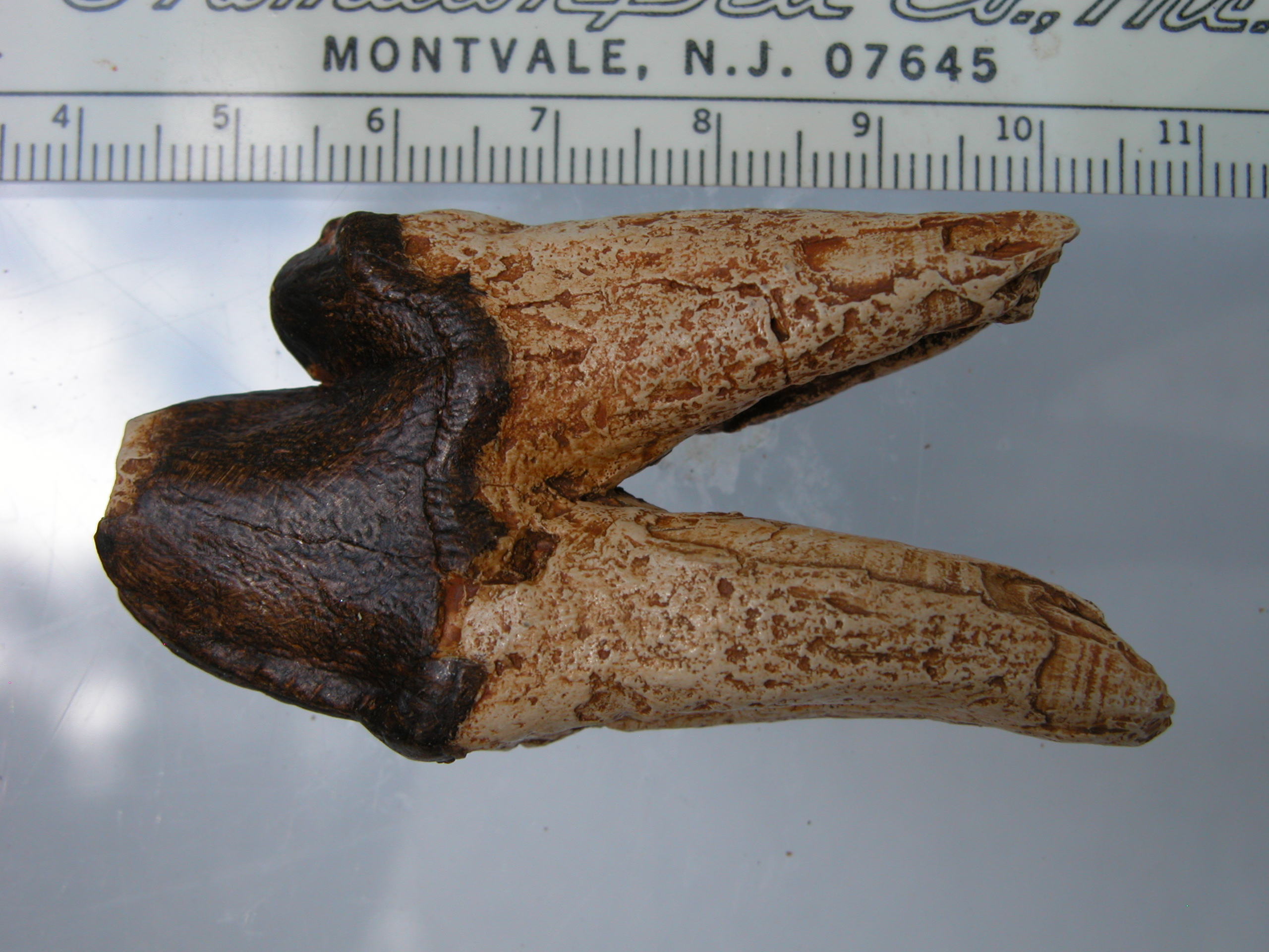 A Protocetid Whale from South Carolina