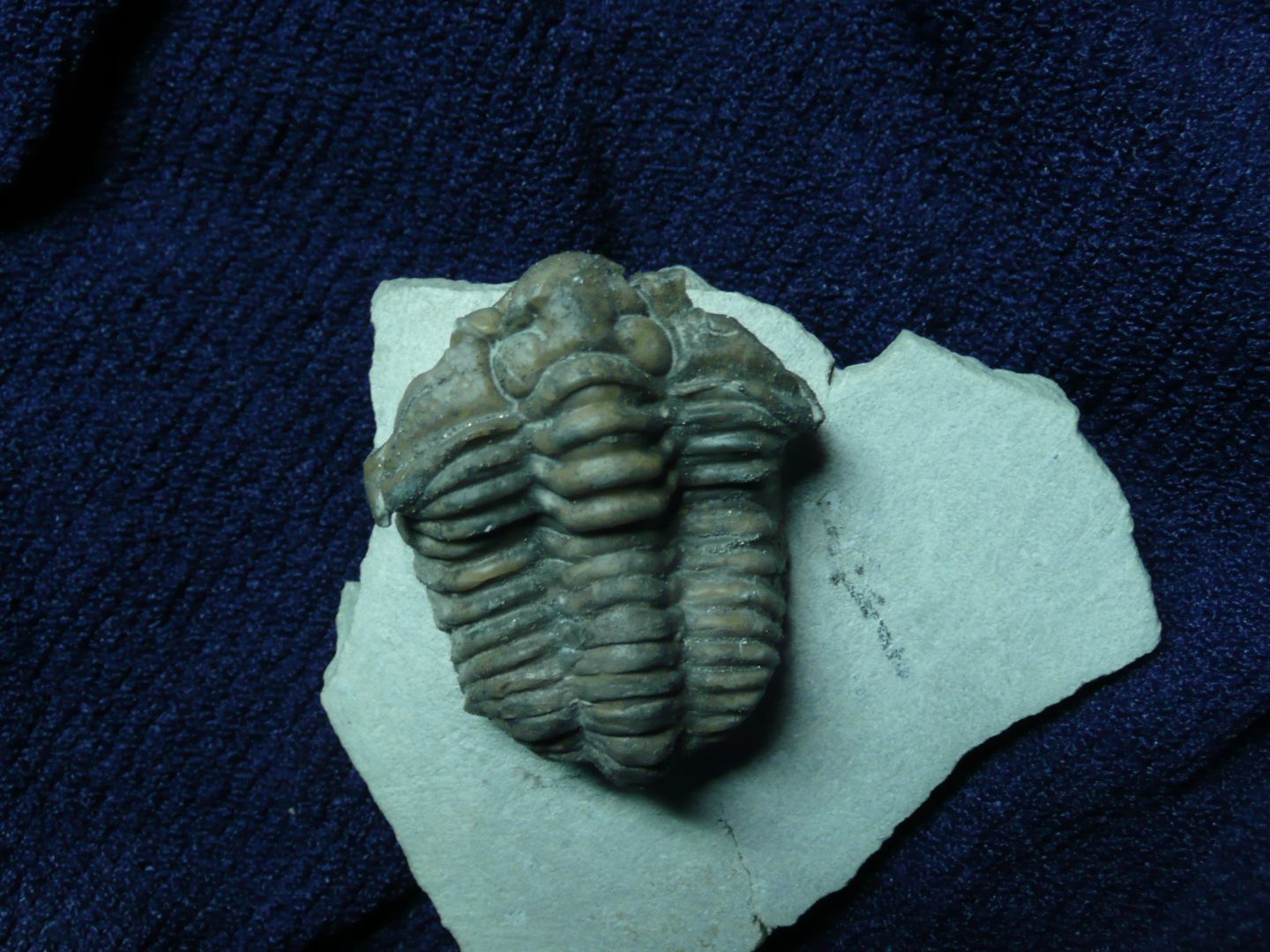 Figure 4. Calymene from Silurian Massie Shale. Specimen is 2 inches long. Prepared by Ben Cooper.