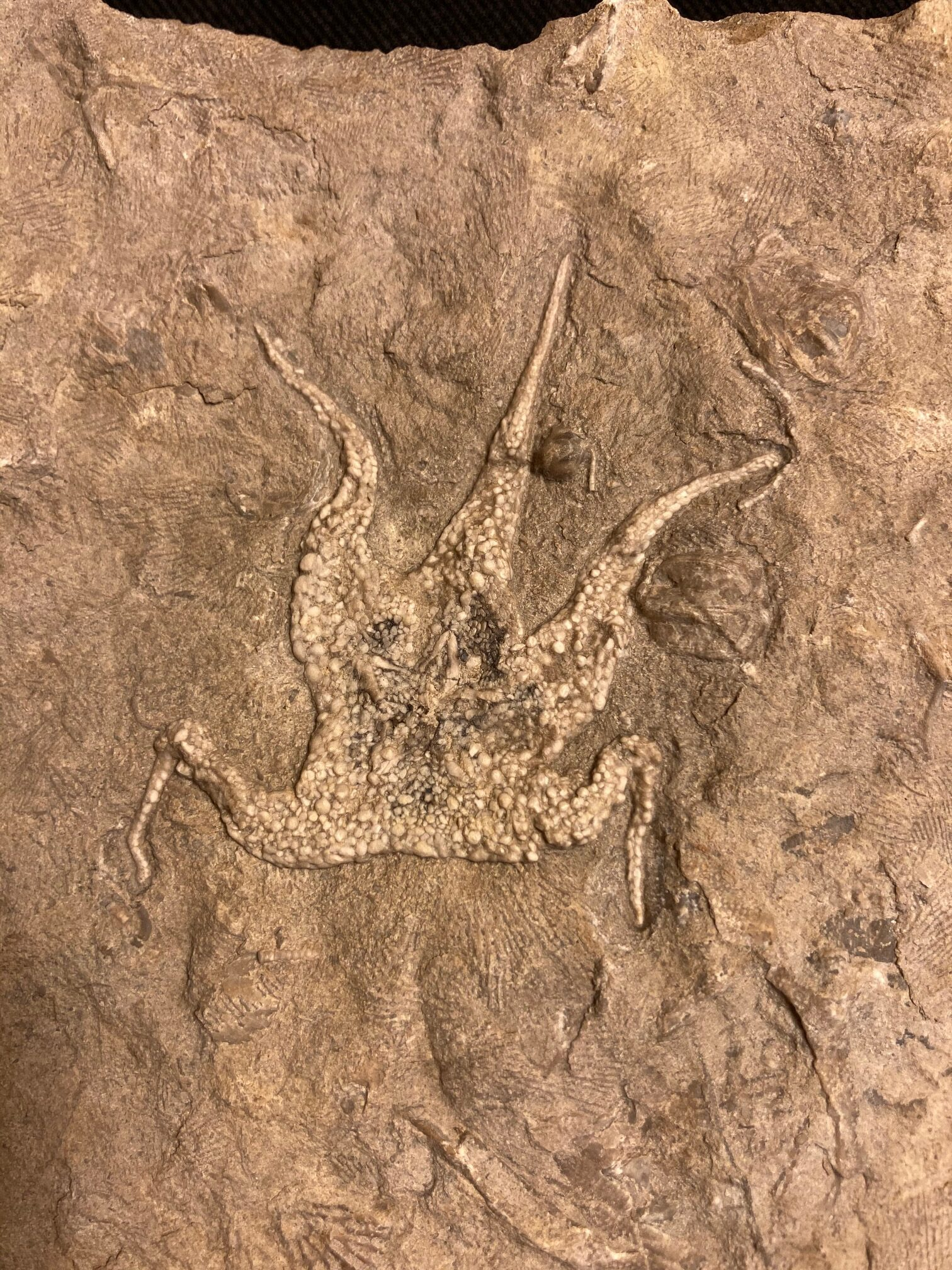 Mississippian starfish